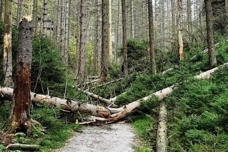 Umgestürzte Fichten blockierten Wanderweg in der Sächsischen Schweiz. Auslöser ist der Borkenkäfer.