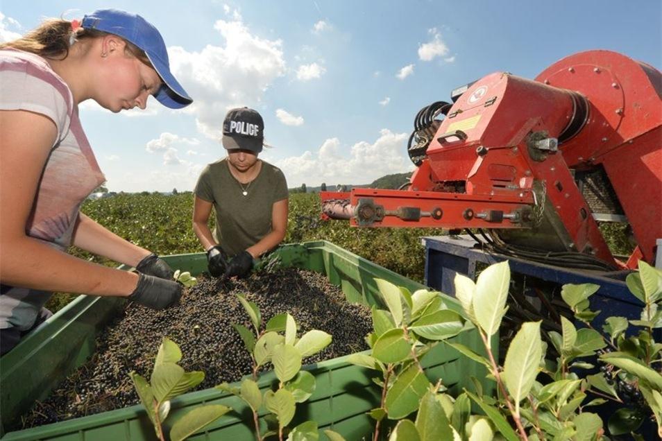Erst rüttelt die Maschine die Beeren vom Strauch, dann müssen an einigen noch die Stiele entfernt werden. Auf den Sörnewitzer Feldern von Obstbauer Görnitz hat die Aroniaernte begonnen. Fotos: Norbert Millauer (2)