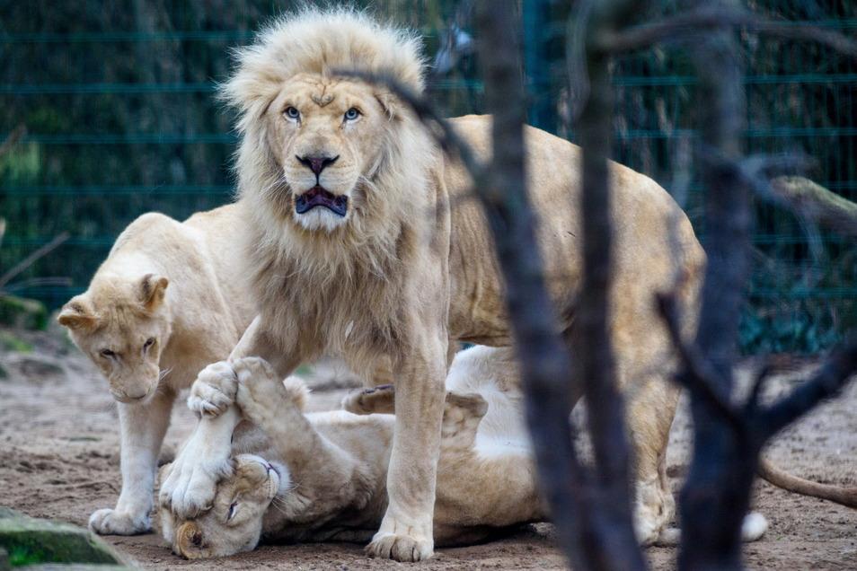 Ein weißer Löwe lebt auch im Zoo von Magdeburg.