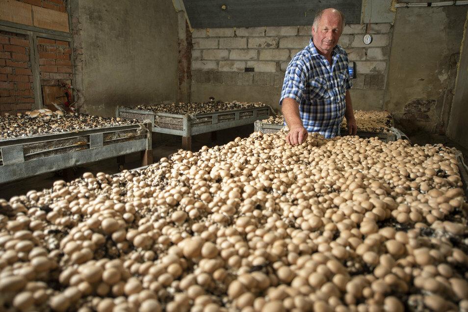 Seit einigen Jahren züchtet Landwirt Frank Büttner Champignons in seiner Scheune. Die Pilze sind auf den Märkten, die er besucht, sehr begehrt.