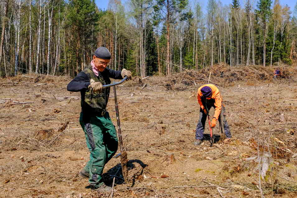 Wolfram und Ilka Berg pflanzen in der Nähe des Altenteichmoores junge Erlen.