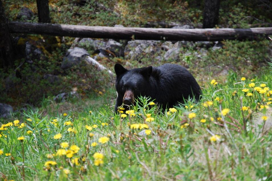 Die asiatische Variante des Schwarzbären, ein Tibetbär, soll in Görlitz ein Zuhause finden.