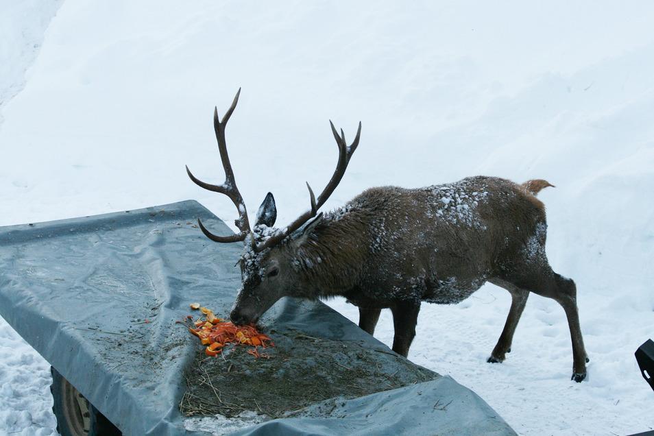 Ein Hirsch frisst Futter von einer Ladefläche.