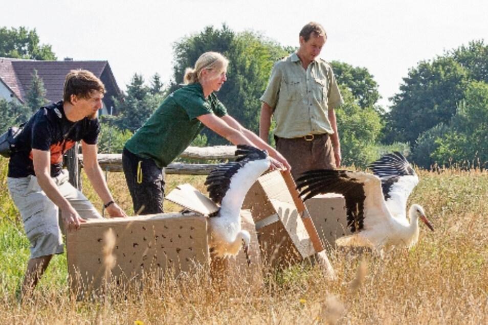 Mitarbeiter des Görlitzer Tierparks lassen an einem Feld bei Wartha drei Weißstörche frei.