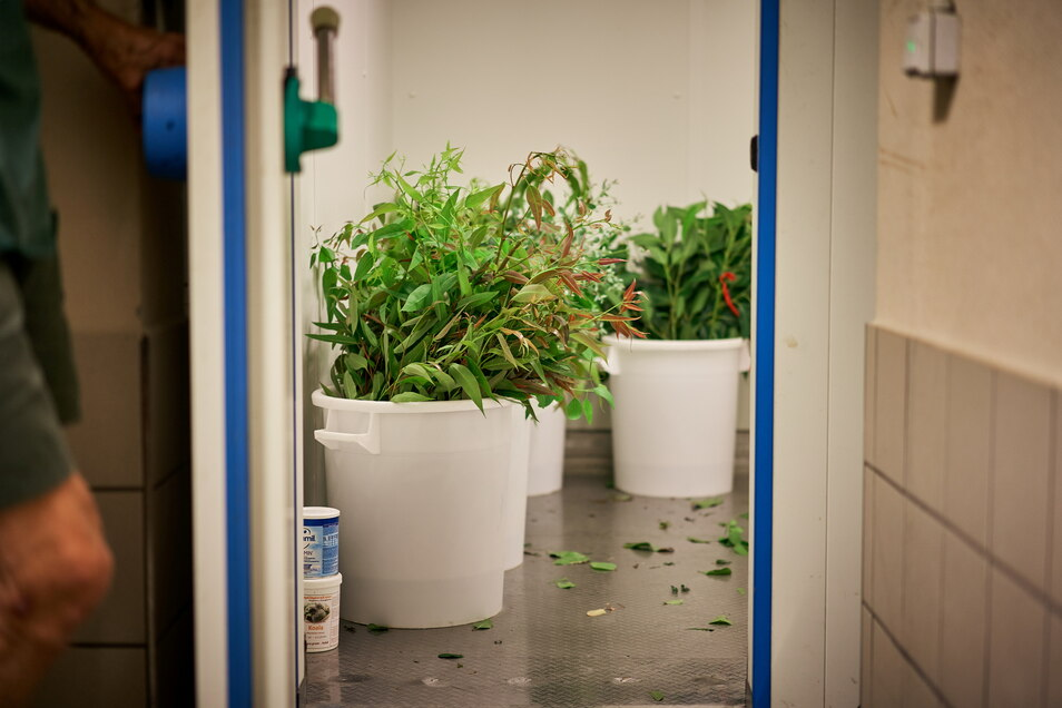 Der Dresdner Zoo lagert verschiedene Sorten in einer Kühlkammer. Einen Teil davon kauft sie aus Florida zu. Er ist seit zwei bis drei Tagen gepflückt, wenn er verfüttert wird.