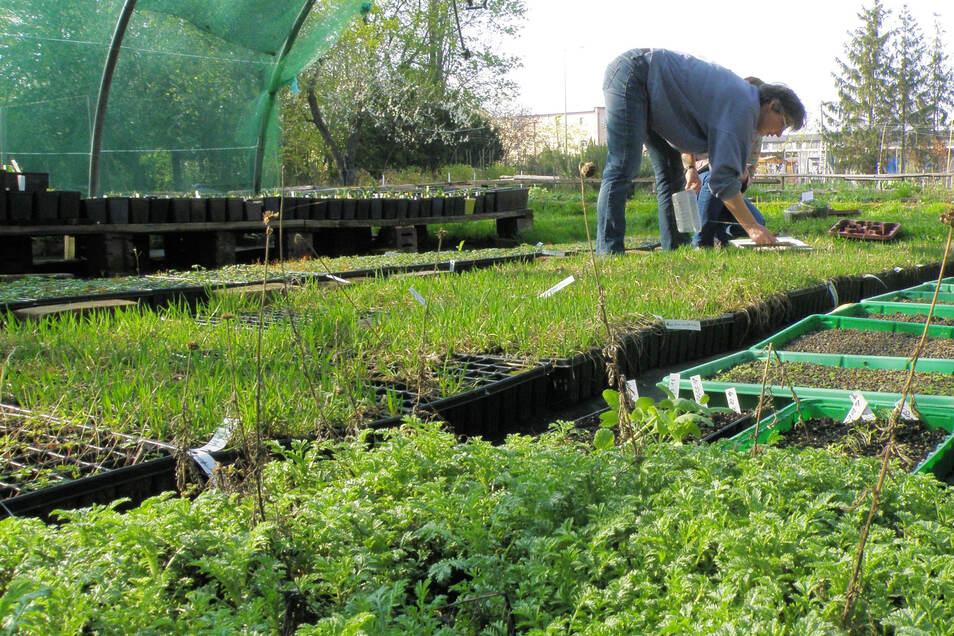 In der Gärtnerei des Dresdner Umweltzentrums werden Jungpflanzen seltener und gefährdeter Arten angezogen und dann an Pflanzenpaten in Dresden und im Landkreis Meißen verteilt.