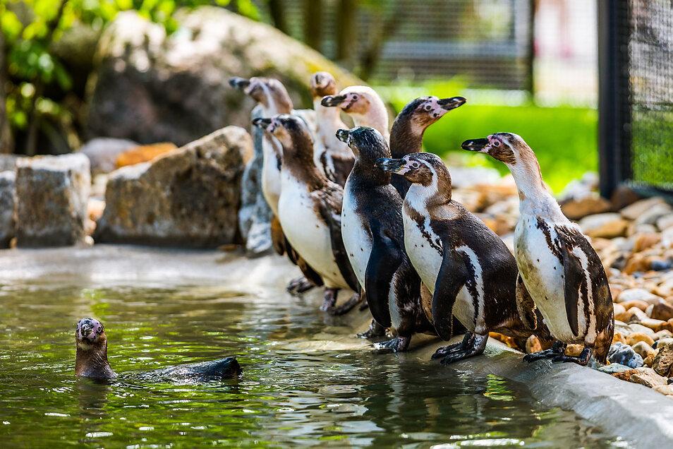 Diese Foto entstand bei der Einweihung der umgebauten Pinguin-Anlage im Hoyerswerdaer Zoo im vorigen Jahr. Da war die zehnköpfige Pinguin-Gruppe noch komplett. Ein Tier ist in der Zwischenzeit an den Folgen einer Verletzung an einem Flügel gestorben. Wi