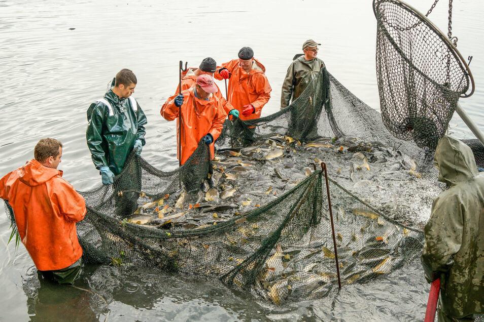 Wildes Zappeln im Netz. Die Fischer halten die Netze hoch, damit kein Tier entwischt.