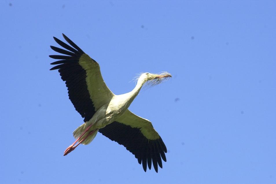 Ein Storch im Anflug auf seinen Horst mit Nistmaterial im Schnabel. Dieses Foto entstand im nahen Görzig, das ebenfalls zum Vogelschutzgebiet Unteres Rödertal gehört.