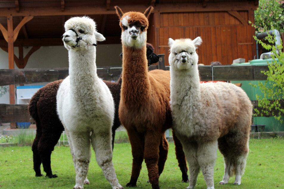 Auch diese Alpakas warten am Sonntag auf Besuch.