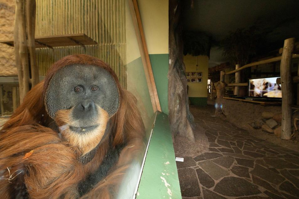 Orang-Utan Toni freut sich über die Abwechslung, die das SZ-Team in den Zoo bringt, und beobachtet ganz genau.