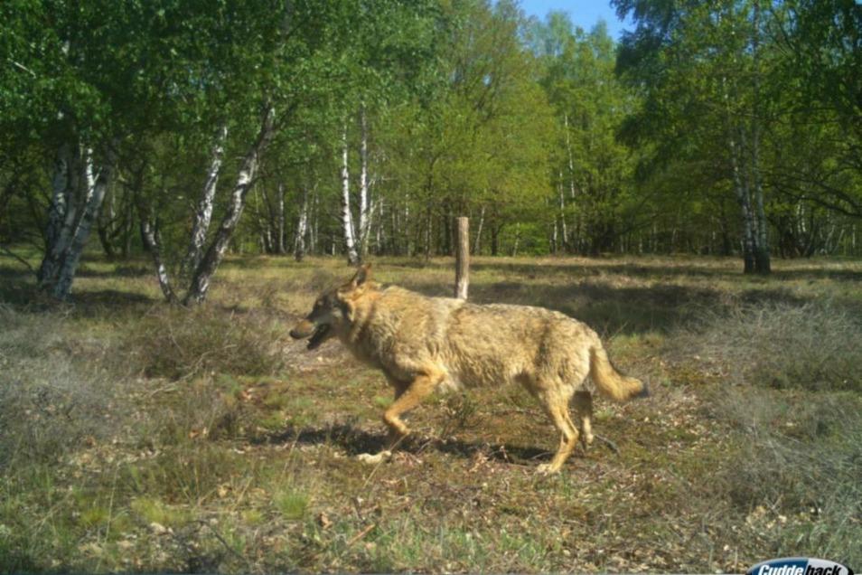 Wolfsrüde Hans hat zwar kein Senderhalsband mehr, ist aber in die Fotofalle einer Wildkamera getappt. Dass es sich dabei um Hans handelt, zeigt der Abdruck des verlorenen Bandes.
