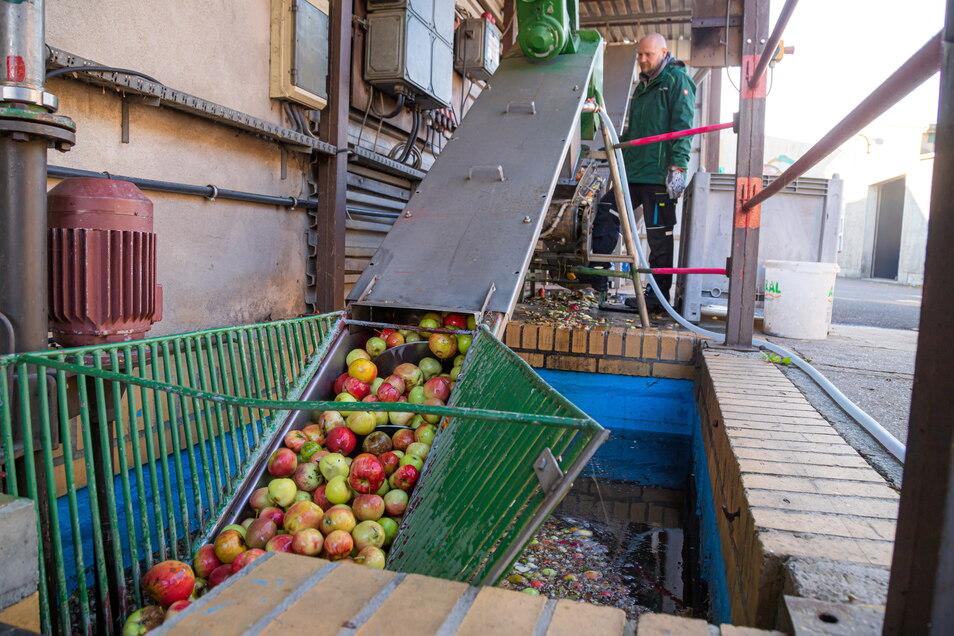 Bevor die Äpfel gepresst werden können, müssen sie gewaschen, sortiert und zerkleinert werden.