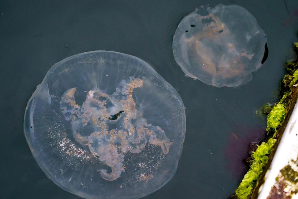 Zwei Quallen schwimmen an einem Bootssteg an der Kieler Förde.