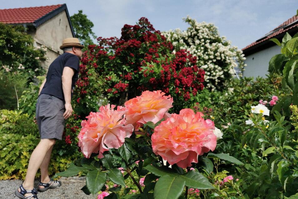 Mit allen Sinnen genießen - auch Steffen Lorenz aus Kamenz war Sonntagvormittag in Familie unterwegs. Und schaute bei Rösebergs im Rosengarten vorbei.
