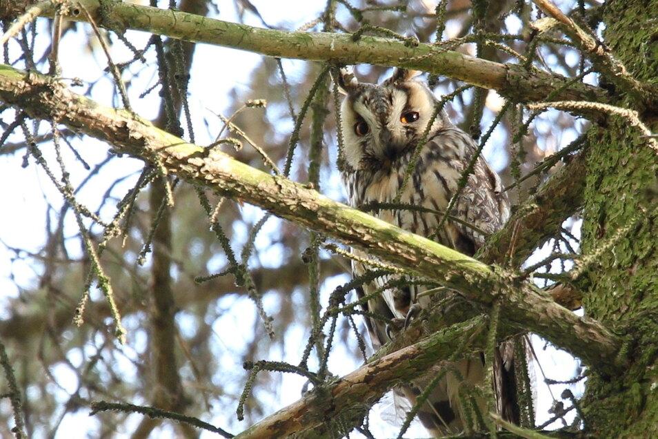 Eines der ausgewachsenen Tiere sitzt hier in Familie Renners Garten im Kiefern-Wipfel.