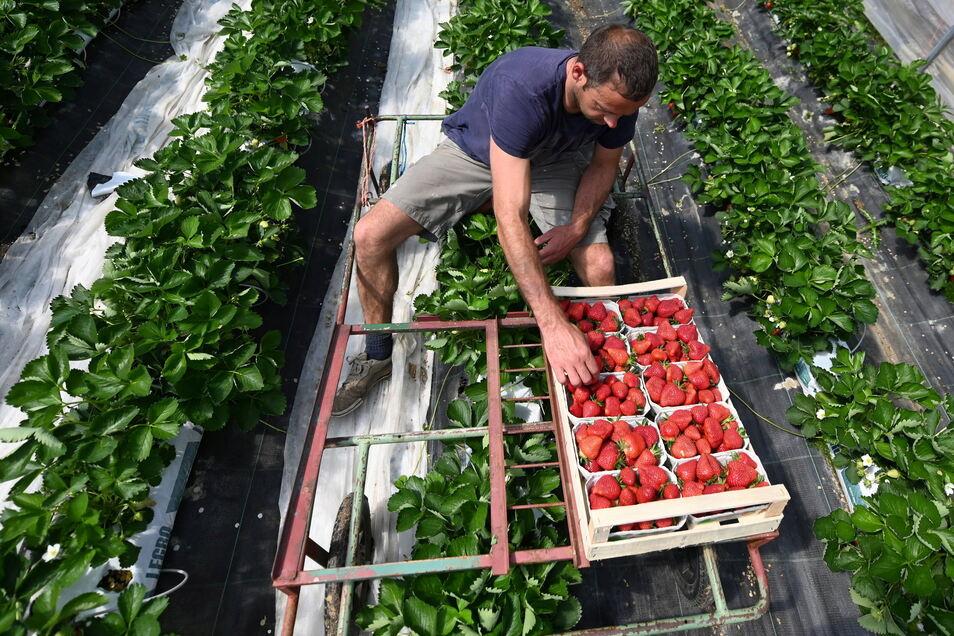 Im vergangenen Jahr kaufte ein Haushalt durchschnittlich 4,2 Kilogramm Erdbeeren, zwölf Prozent mehr als 2019.