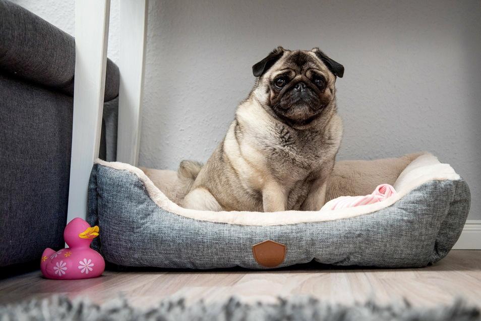 Viele Hunde bringen zu viel auf die Waage - was auch ihrer Gesundheit schadet.