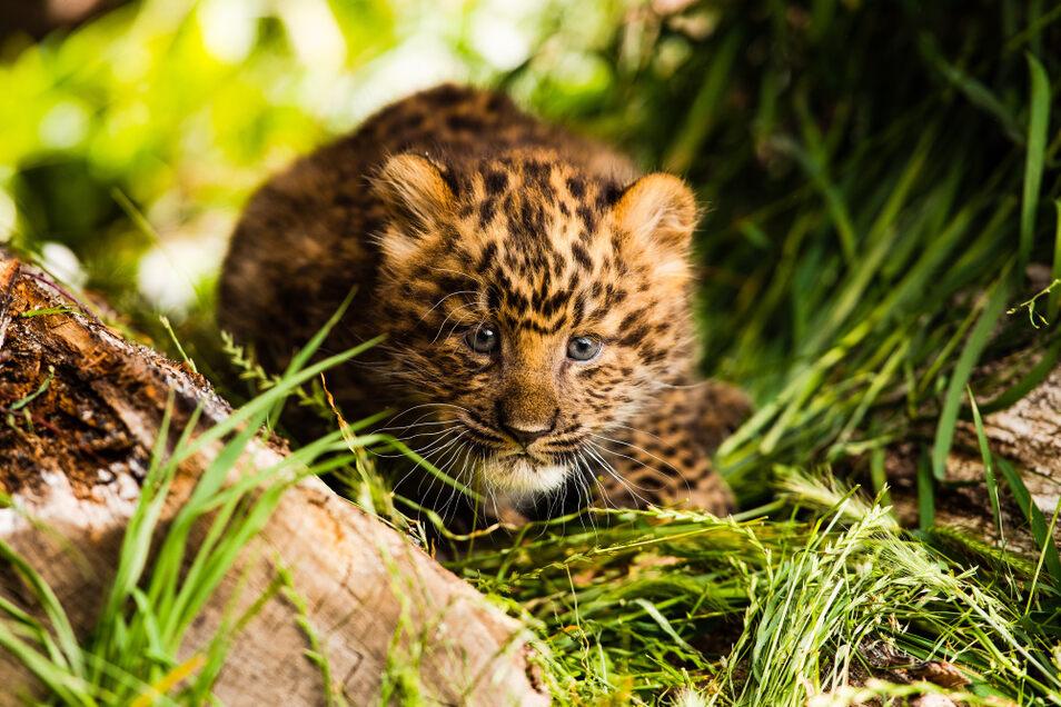 Hat noch keinen Namen: das China- Leoparden-Jungtier.