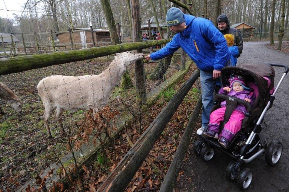 Das ebenfalls weiße Damwild zeigte sich zutraulicher als das größere Rotwild. Besucher Sandro Flemming, der mit Tochter Missy nach Moritzburg gekommen war, konnte eins der Tiere füttern.
