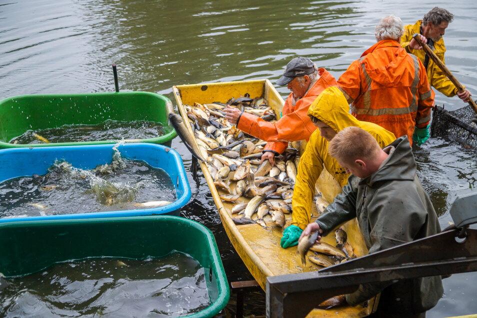 Die Teichwirtschaft Petershain hat jetzt vorzeitig den Wiedholzteich bei Kosel abgefischt. Die hauptsächlich hier schwimmenden Emmafische sollten eigentlich erst im November herausgeholt werden. Doch die Kundennachfrage ist so groß.