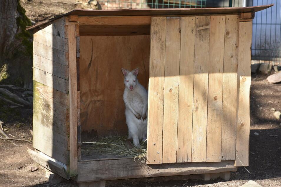 """Auch das Känguru im Wildpark Geising lugt vorsichtig um die Ecke, als wolle es fragen: """"Ist die Quarantäne vorbei?"""""""
