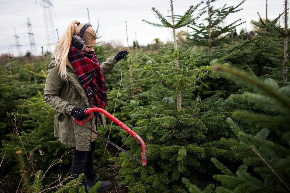 Eigene Säge ist erwünscht, ein Mundschutz obligatorisch beim Selbstschlagen der Weihnachtsbäume im Sachsenforst.