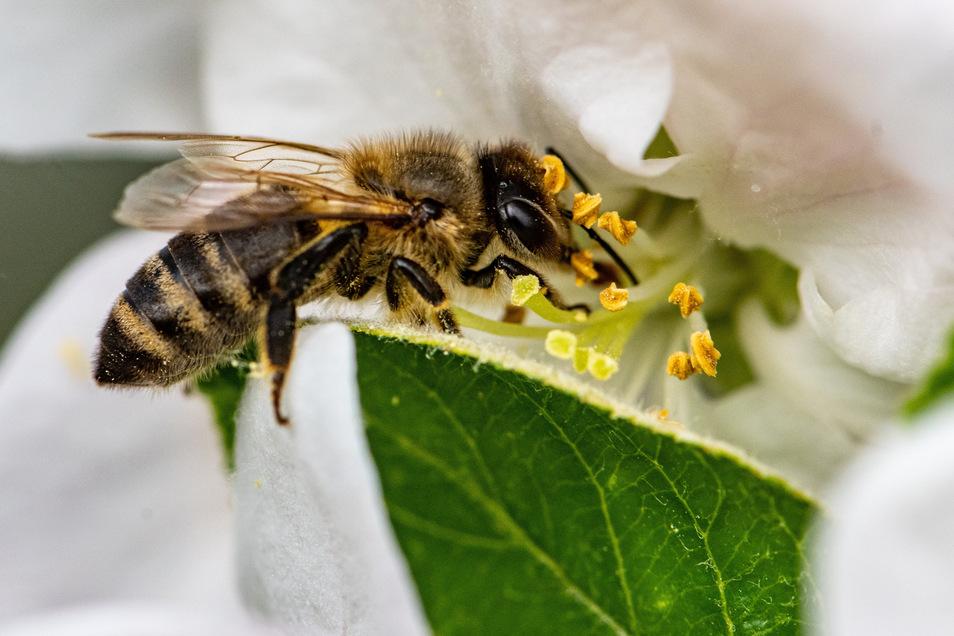 Eine Biene sammelt in der Blüte eines Apfelbaums Nektar.