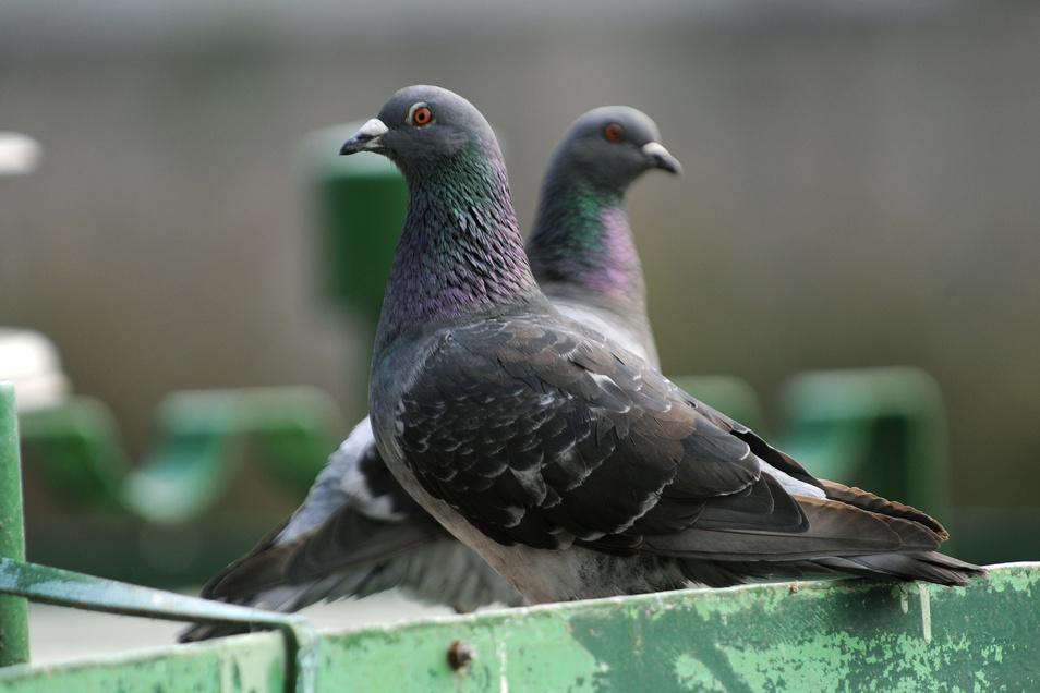 Tauben sorgen in Städten immer wieder für Ärger - wegen ihrer stinkenden Hinterlassenschaften.