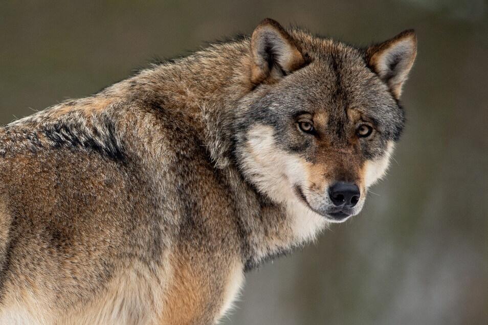 Ein Wolfsrudel siedelte sich in der Dresdner Heide an.