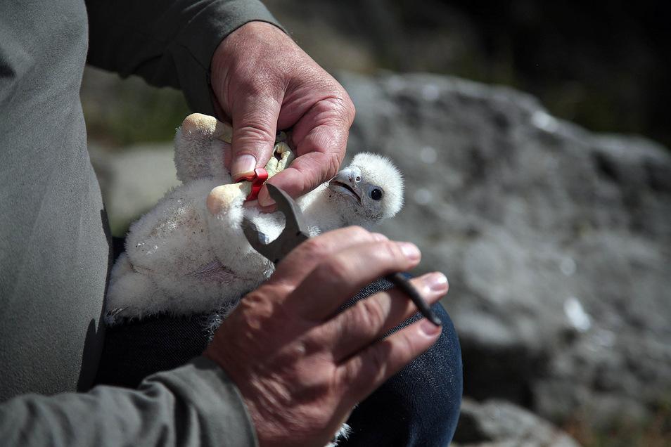 Ulrich Augst passt dem Falkenküken seinen Habitatring mit Nummerierung an. Die Ringe werden von der Vogelwarte Hiddensee ausgegeben.