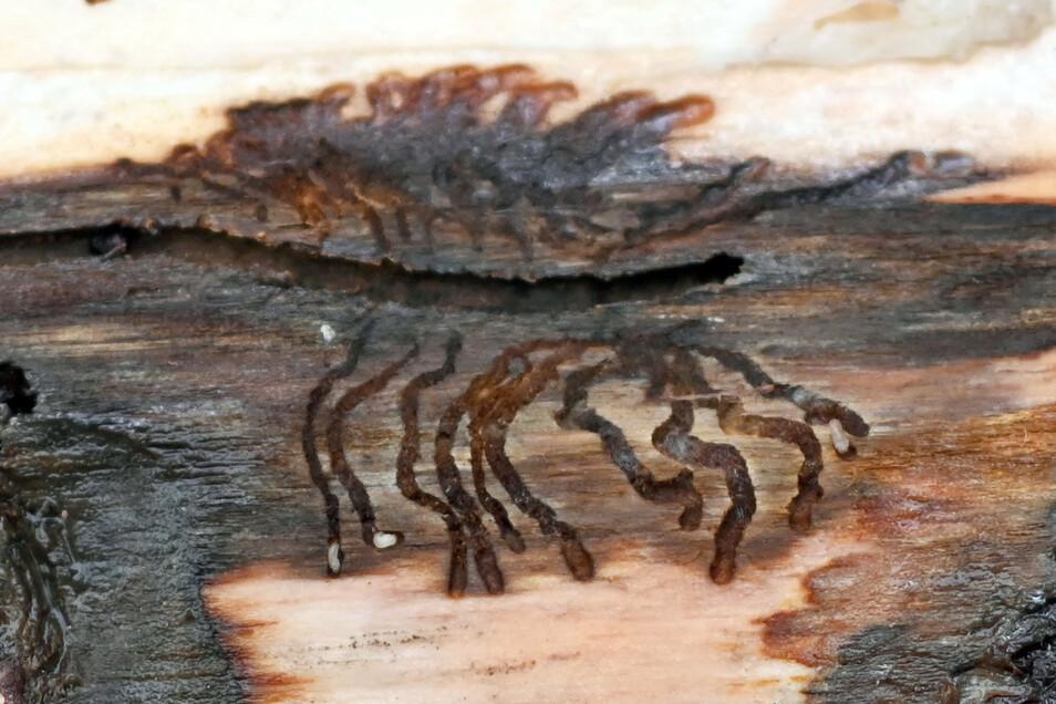 Borkenkäferlarven haben ein Muster in die Rinde eines Baumes gefressen.