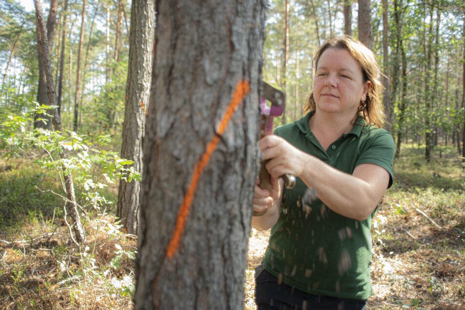 Mit einem Bügelschaber löst Katharina Winkler, Leiterin des Forstreviers Bernsdorf, einen Teil der Kiefernrinde. So kann die Forstingenieurin den Borkenkäferbefall bestimmen.