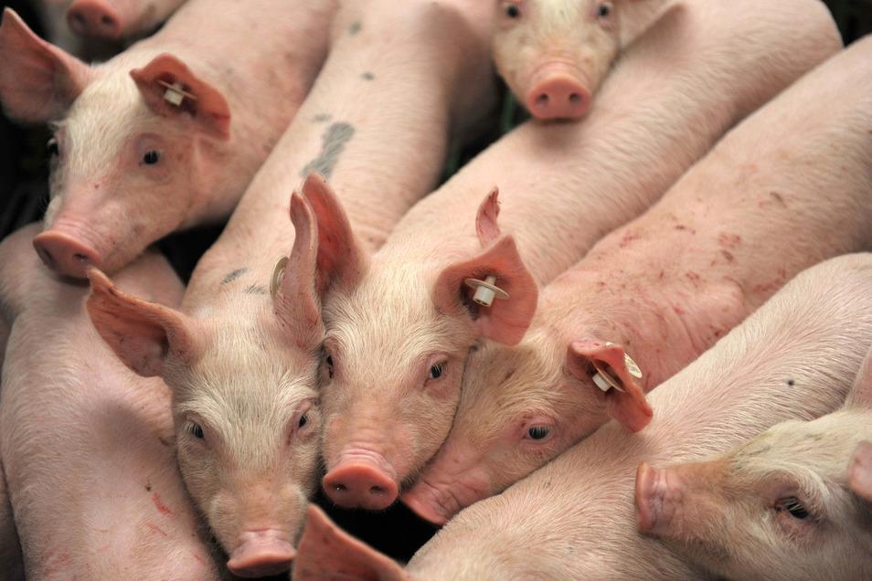 In Stolpern will ein Unternehmer statt 4.000 Schweinen bald 14.500 Ferkel unterbringen,