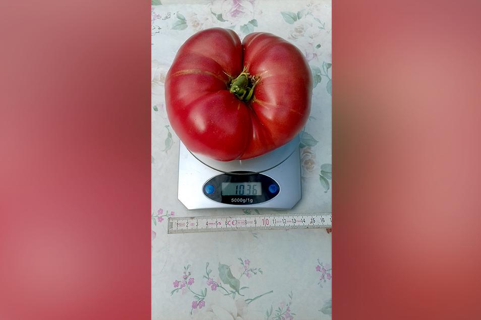 """Die erste Tomate über 1.000 Gramm und trotzdem aktuell """"nur"""" auf Platz zwei."""