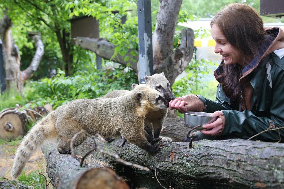 Tierpflegerin Yvonne Luger füttert die Nasenbären.