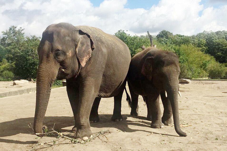 Mutter Kewa mit Jungbulle Edgar sind zwei der fünf Elefanten, die von Berlin nach Leipzig ziehen.