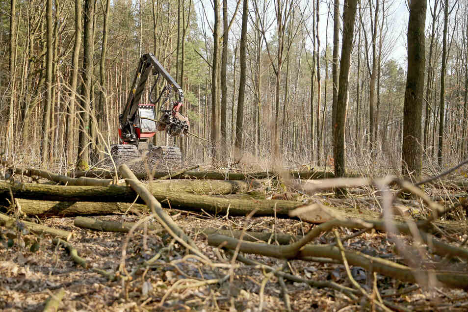 Ein Forstmitarbeiter arbeitet mit einem Harvester bei der Holzernte im staatlichen Forstrevier Collm.