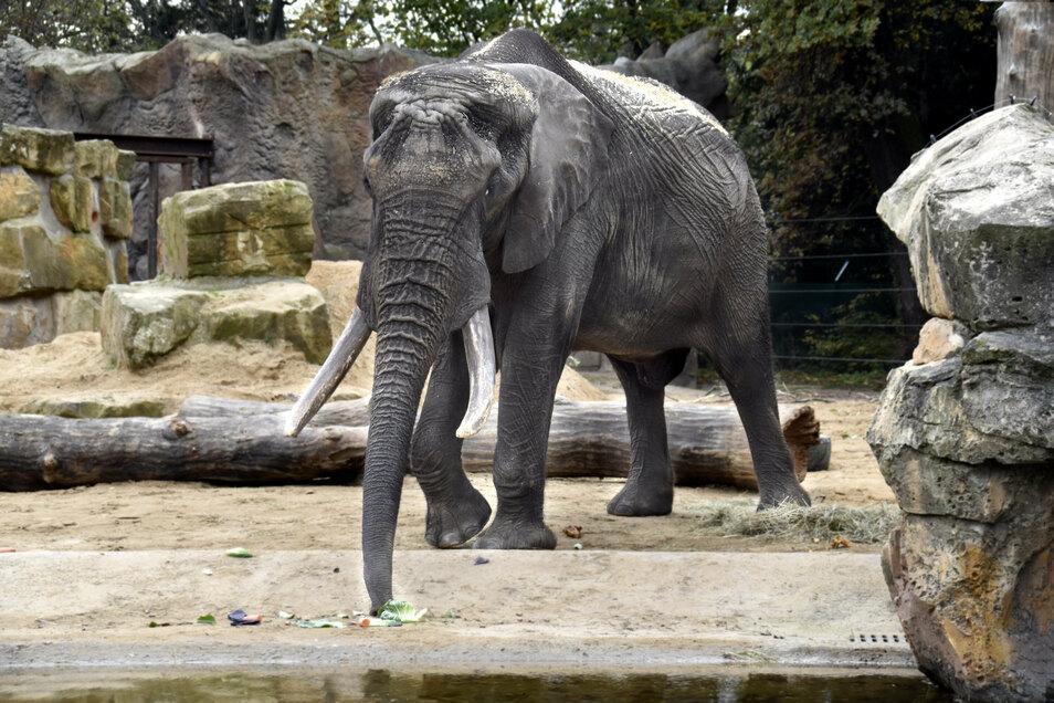 Äpfel verschmäht der neue Elefantenbulle Tonga. Mit fünf Tonnen Gewicht steht er trotzdem gut im Futter.