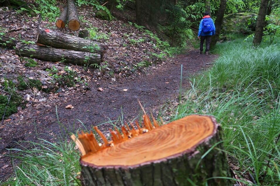 Erlsgrund bei Schmilka in der Sächsischen Schweiz: Hier wurden im Nationalpark Bäume umgesägt.