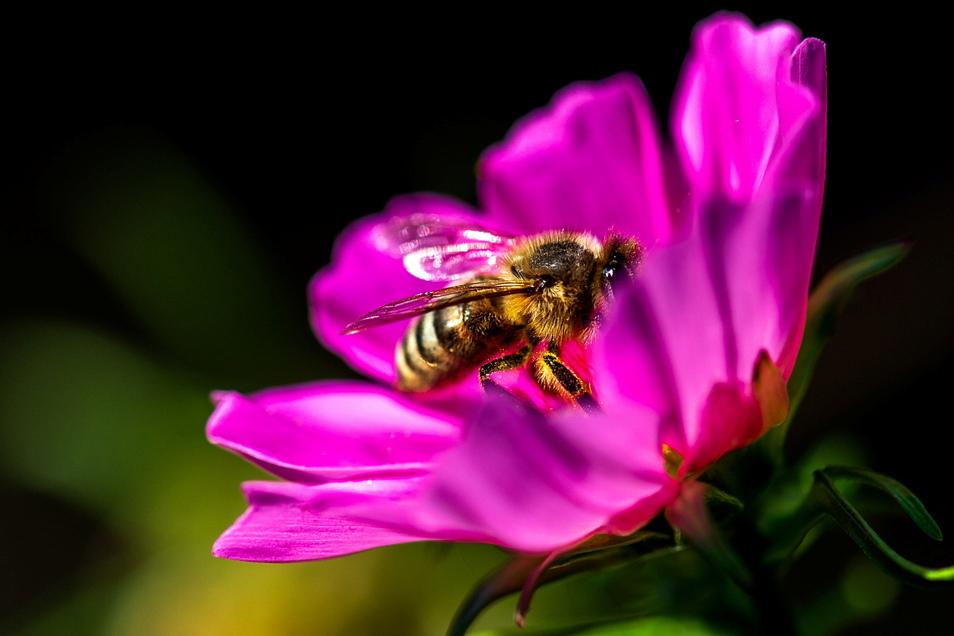 Eine Biene bedient sich im Garten von Michael Berndt am Schmuckkörbchen. Die Pflanze ist auch unter dem Namen Cosmea bekannt.