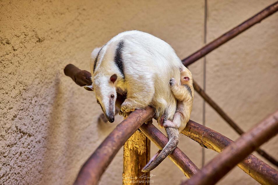Kuscheln gern: Tamandua-Weibchen Kiwi und ihr jungster Nachwuchs.