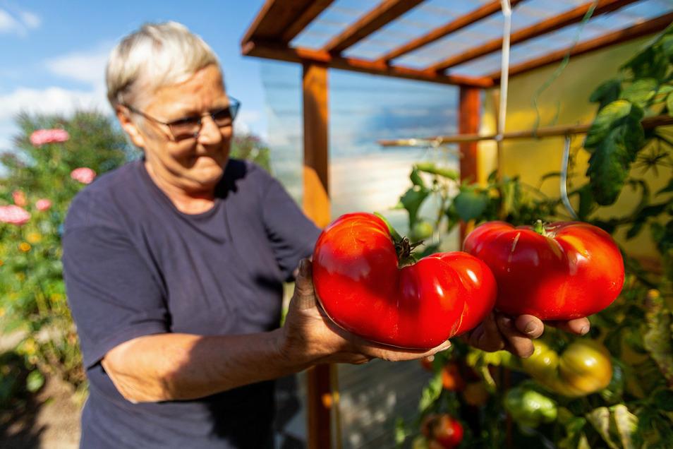 Schwergewicht in Rot: Zwei XXL-Tomaten hat Roswitha Pagel in Pirna geerntet.