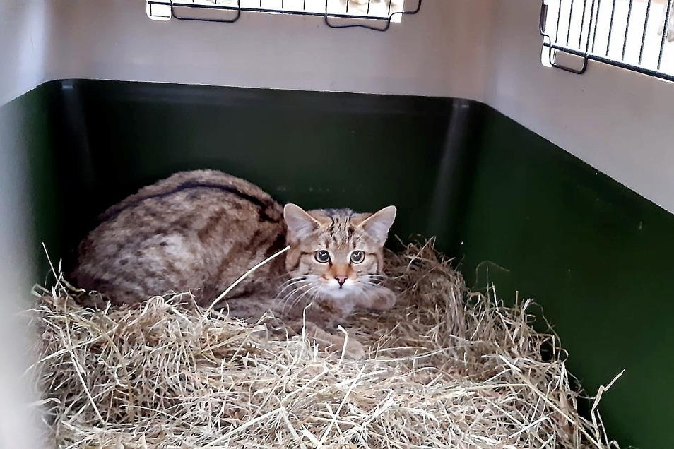 Etwas ängstlich drückt sich eine der drei neuen Wildkatzen in das Stroh ihrer Transportbox.