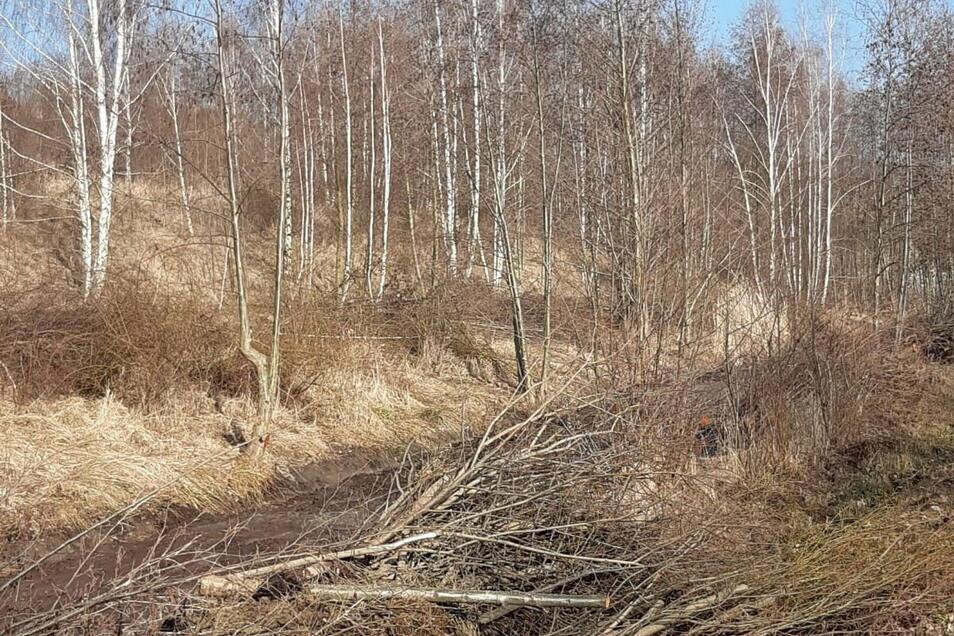 Die LMBV hat Bäume am Berzdorfer See gefällt. In dieser Woche wird das Holz beräumt.