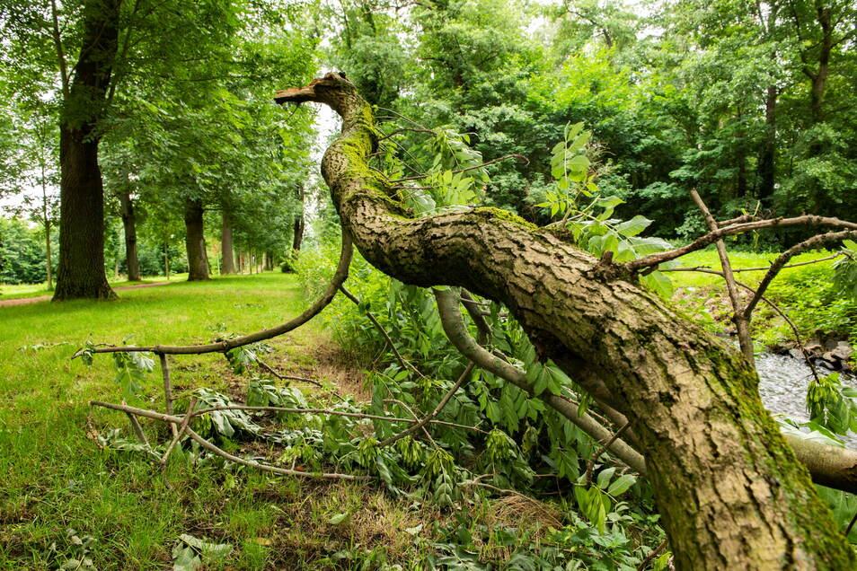 Dieser Ast eines Parkbaumes im Stadtpark Großenhain brach ab und fiel in die Röder.