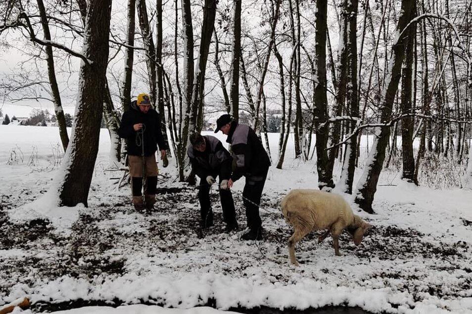 Tierschützer haben zwei Schafe aus einem Waldstück befreien müssen. Dort waren sie an Bäume angekettet, doch ohne Nahrung.