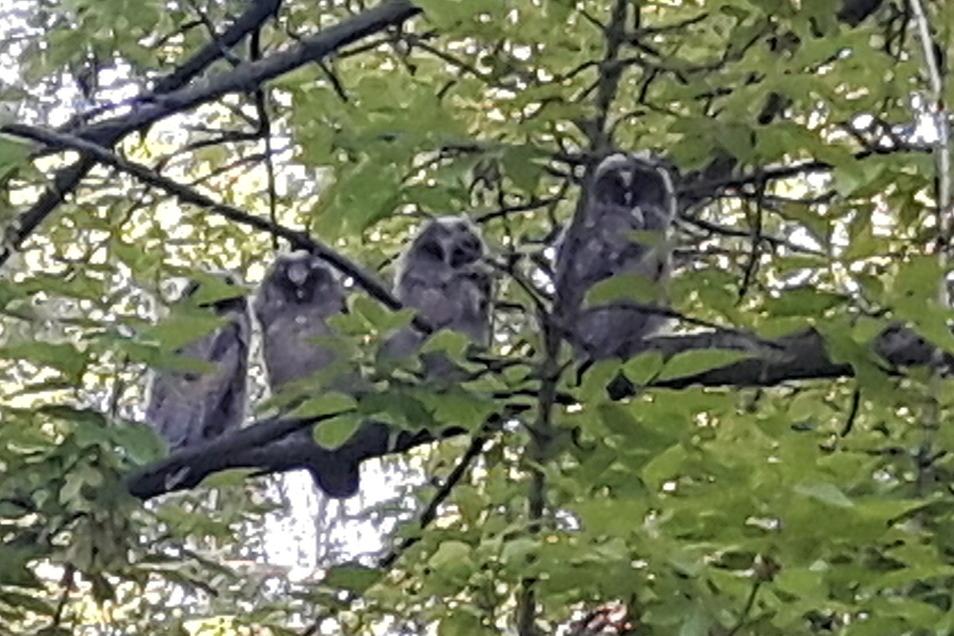 Vier junge Waldohreulen unterhalten Zauckerode, sobald es dunkel wird.