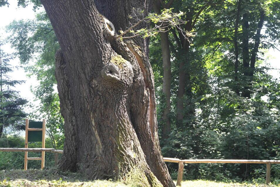 Ein imposanter, mehr als drei Jahrhunderte alter Baum.