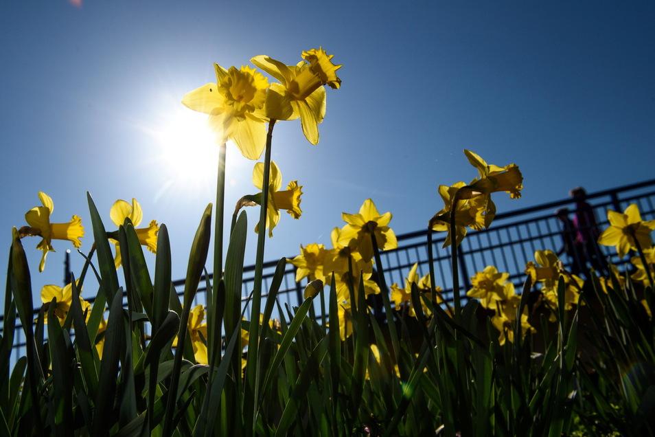 Aus kargem Boden dem Licht entgegen: Wie auch die Osterglocke ein Zeichen der Hoffnung sein kann.